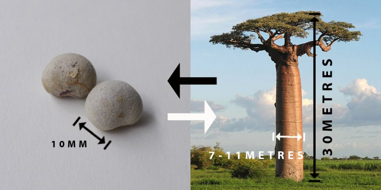 baobab-seeds-becomes-tree